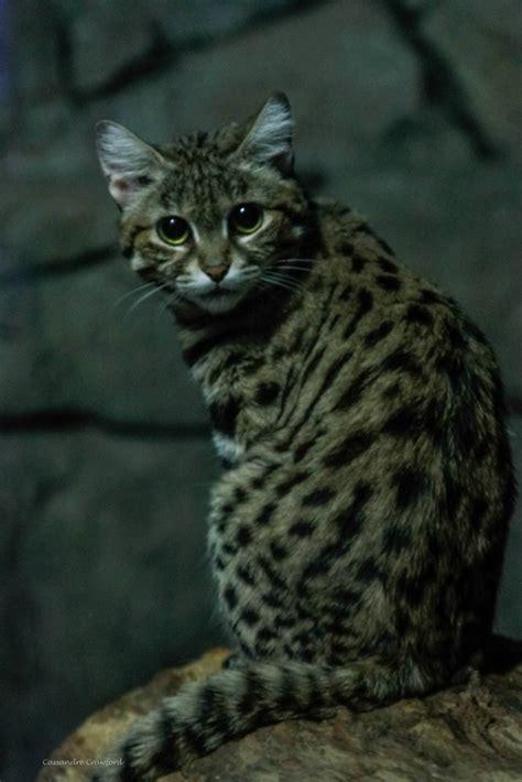 cat footed cats wild zoo web africa cincinnatizoo cincinnati shy south field animals conservation botanical garden