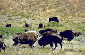 American Bison Becomes U.S. National Mammal | Time