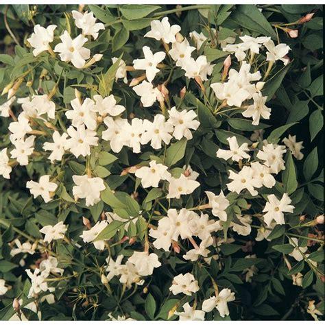 White Jasmine (jasminum Officinale)  Amiability A