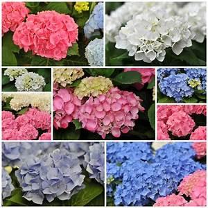 Hortensien Wann Pflanzen : hortensien wann ist bl tezeit ~ Lizthompson.info Haus und Dekorationen