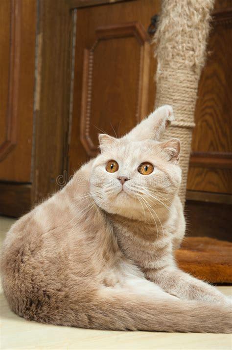 gatto da appartamento razza gli scottish piegano il gatto rosso di razza immagine
