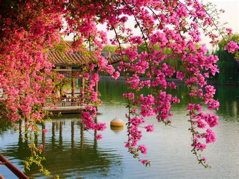 pink spring flowers   park chinese kunming china hd