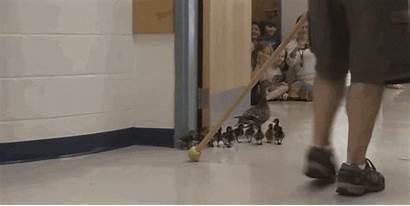 Duck Through Teacher Animated Ducklings Pat Ducks