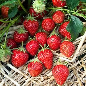 Pflanzen Im Juli : erdbeeren jetzt pflanzen idealer pflanztermin von mitte juli bis ende august h berli ~ Orissabook.com Haus und Dekorationen