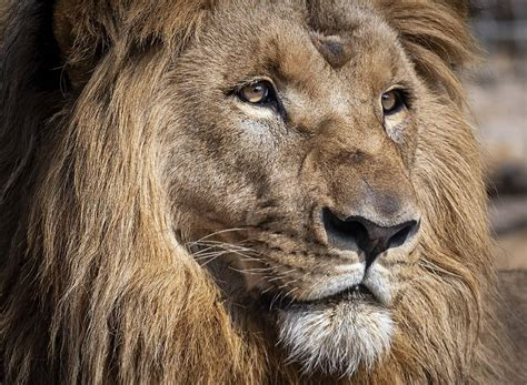 lions test positive  covid   barcelona zoo