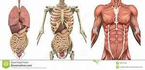 Th1  Thema 3 Organen En Cellen - Lesmateriaal