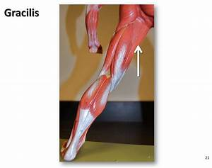 Gracilis - Muscles Of The Lower Extremity Anatomy Visual Atlas  Page 21