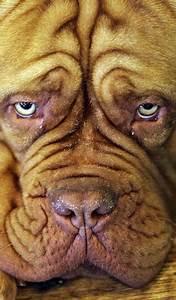 dog breeder wrinkle dog breeder wrinkle dog puppies wrinkled dog