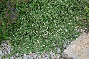 Lippia Summer Pearls : lippia phyla nodiflora teppichverbene ~ Frokenaadalensverden.com Haus und Dekorationen