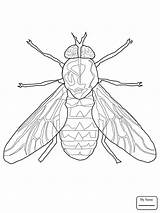 Fly Fruit Firefly Insect Drawing Insects Coloring Pages Getdrawings sketch template