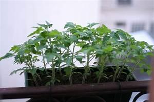 Quand Planter Les Tomates Cerises : quand planter tomates cerises balcon ~ Farleysfitness.com Idées de Décoration