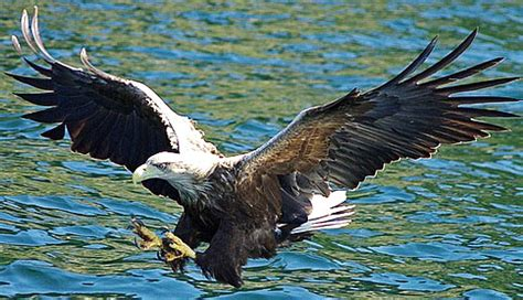 sea  fish eagles animal pictures  facts factzoocom