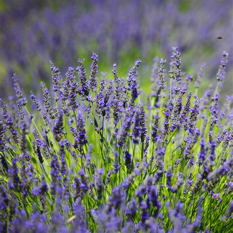 lavender ellagance buy english lavender lavender in kitchener waterloogreenway blooming centre