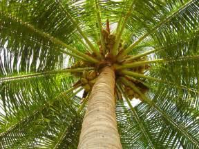 coconut tree trimming