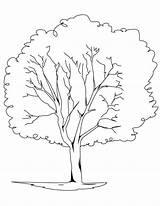 Tree Coloring Oak Elm Trees Printable Pine Drawing Trunk Rainforest Redwood Bare Template Outline Leaves Planting Getcolorings Getdrawings Plants Sketch sketch template