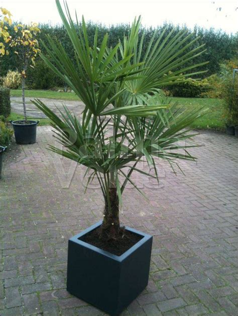 winterharde palmboom in tuin de trachycarpus fortunei de chinese windmolenpalm of