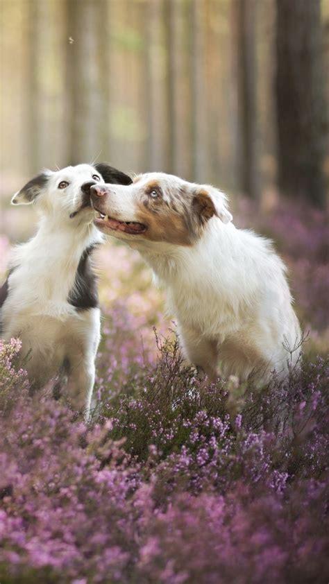 wallpaper border collie dog field cute animals funny