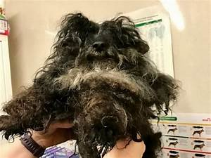Neglected Poodle So Badly Matted He Couldn39t Open His