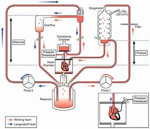 Schematic Illustration Of Isolated Rat Heart Perfusion