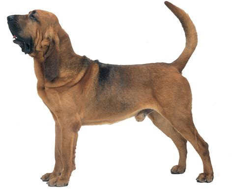 dogs that dont shed bloodhound bloodhound all big breeds