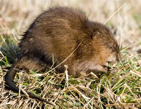 Images Of Muskrats Common Muskrat Mdc Discover Nature