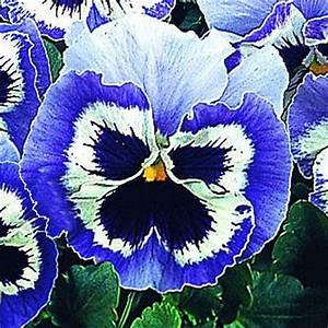Pansy Snowpansy Blue & White - Pansy Flower Seeds