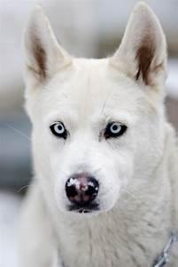 limeflavored | White husky, Sunset and Animal