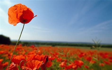 fascinating facts  poppies  telegraph