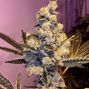 Sophisticated Lady  By Gage Green Genetics     Seedfinder