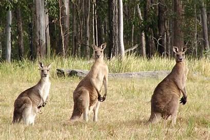 Kangaroo Grey Giganteus Macropus Kangaroos Female Sportsman