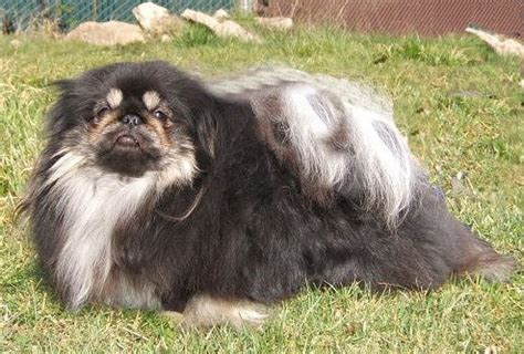toned black pekingese puppy picturejpg