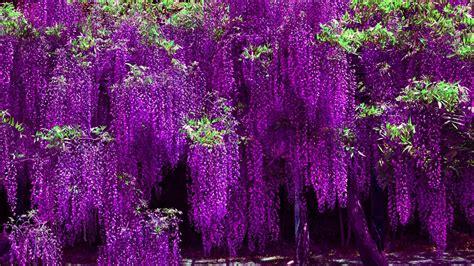 violet hd wallpaper impremedianet