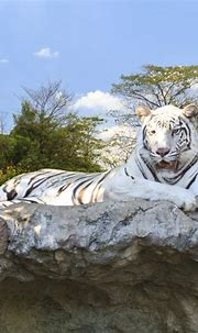 Facts About White Tigers That Will Take Your Breath Away