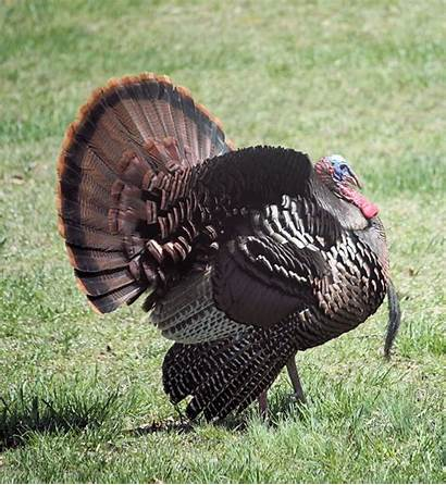 Turkey Wild Strutting Bird Hen Tom Feeder