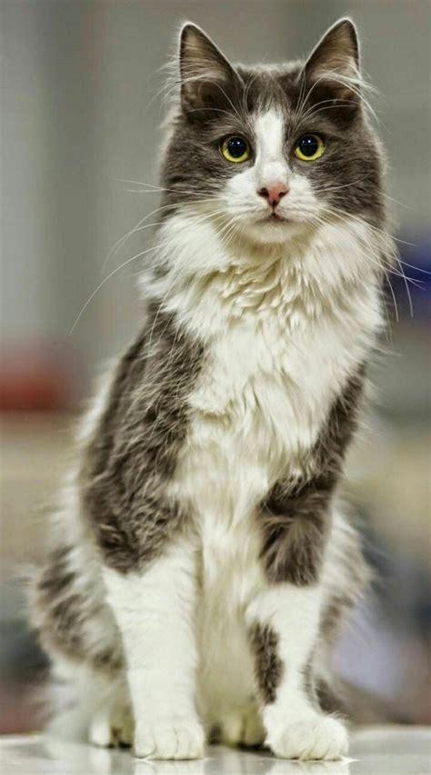 cat cats angora turkish cute breeds kittens most grey breed kitty long dogs warrior tall eyes 1st january pretty kitten