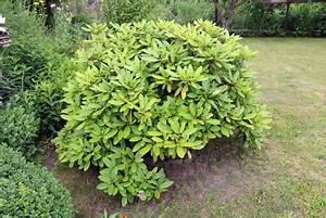 Wann Blüht Der Rhododendron : wann bl ht mein rhododendron infos zur bl tezeit ~ Eleganceandgraceweddings.com Haus und Dekorationen