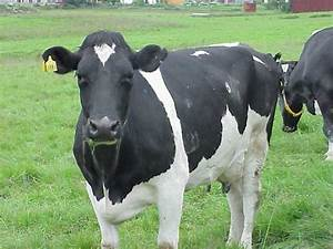HD Animal Wallpapers: HD Cows wallpapers