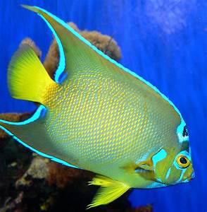 Queen angelfish - Wikipedia