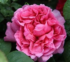 Hohe Pflanzkübel Für Rosen : adr rosen tolle neue rosenz chtungen nahe stuttgart ~ Whattoseeinmadrid.com Haus und Dekorationen