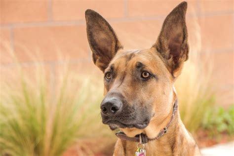 pastore belga malinois  cane sempre attivo che deve