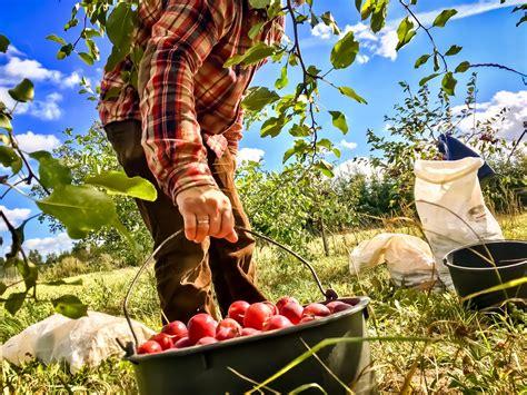 Latvijas ābolu sidrs - mūsu īpašais dzēriens - vērts ...