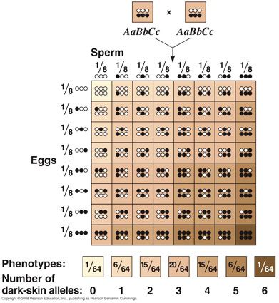 10 3 polygenic inheritance ahl ib biology global jaya
