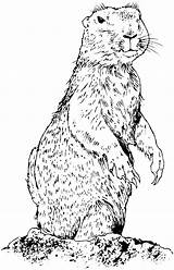 Prairie Dog Coloring Dogs Animals Pages Prarie Drawings Wildlife Standing Suggestions Keywords Amp Related Realistic Getcoloringpages Popular sketch template
