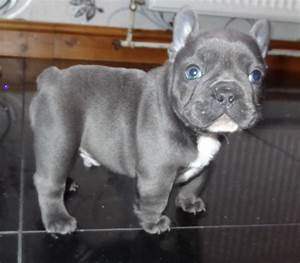 Blue French Bulldog Puppies for Sale, From Breeders and ...