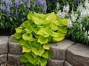 Patate Douce Plante : ipomoea batatas les horticulteurs responsables des ~ Dode.kayakingforconservation.com Idées de Décoration