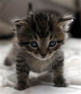 black tiger stripe tabby | Tiger Striped Kittens For Sale ...