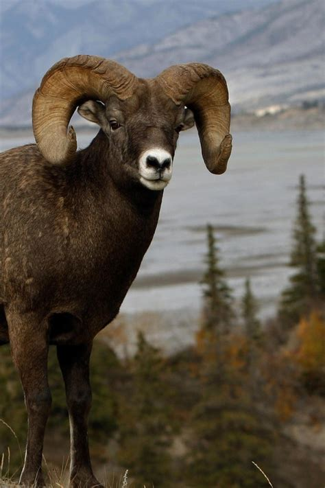 animals mountains nature ram sheep wallpaper