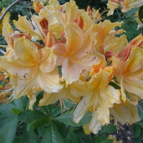 Golden Lights Azalea by Azalea Golden Lights Millais Nurseries