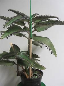 Zimmerpflanze Große Blätter : zimmerpflanzen kaufen zimmerpflanzen gebraucht ~ Lizthompson.info Haus und Dekorationen