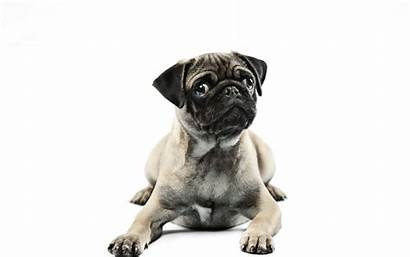 Pug Background Dogs Pugs Animals Wallpapers Theme